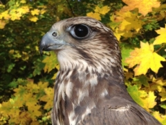 OLDA I a OLDA II -  raroh velký - falco cherrug