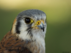 HEDUŠ - poštolka vrabčí - falco sparverius